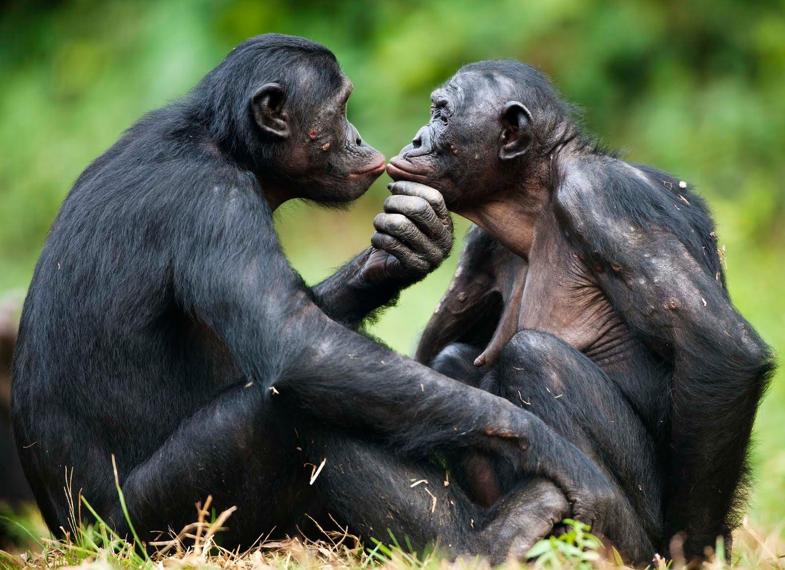 Bonobos - Fundación Clínica del Norte